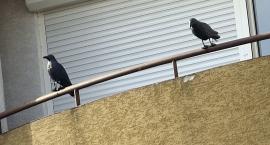Ptaszki dwa